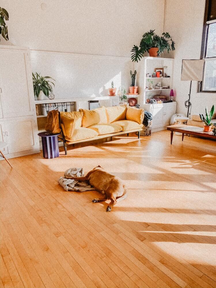 Labrador sleeping on the living room tan hardwood floor